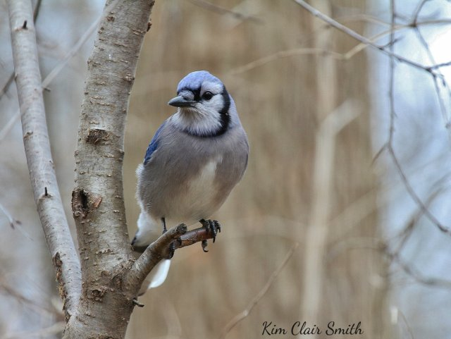 Blue Jay on branch looking at me (1024x770) w sig