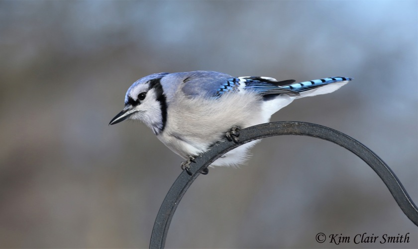 Blue Jay portrait on hook w sig