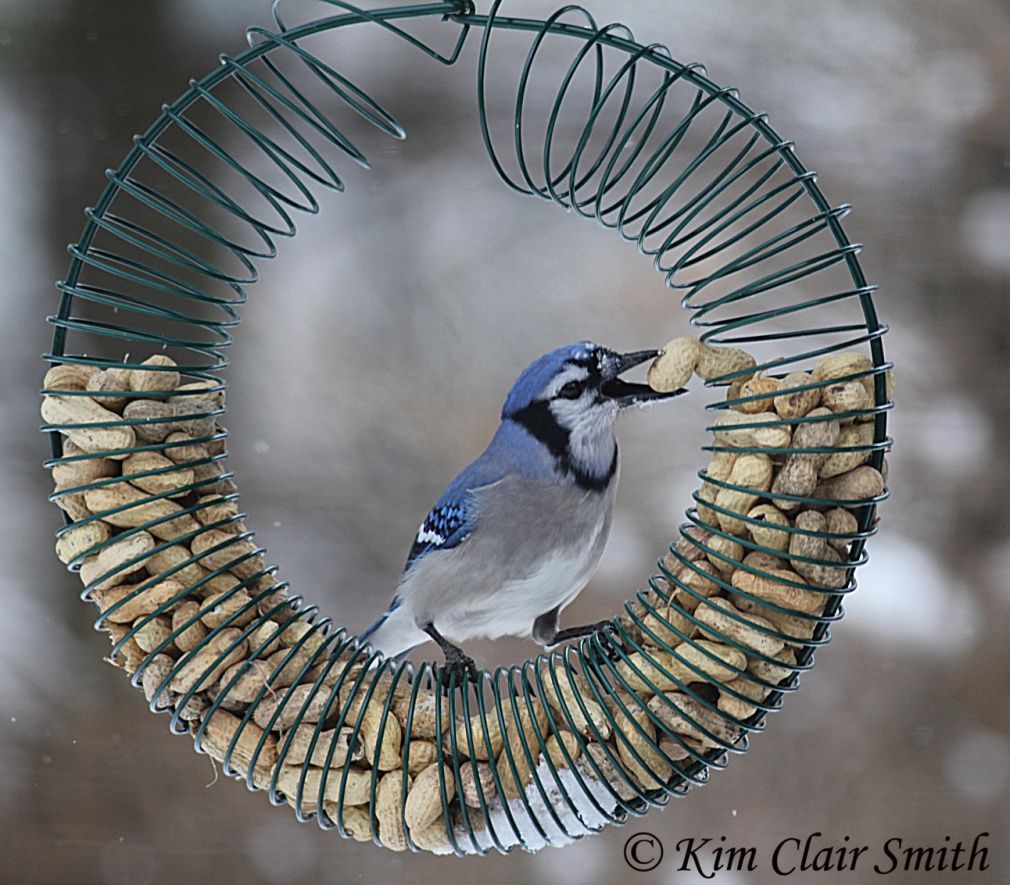 Blue Jay taking peanuts from wreath w sig.jpg