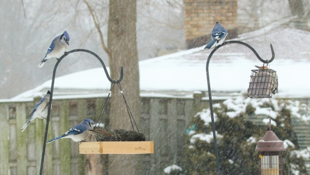 Blue jays and starlings on feeders in snow Jan 2019