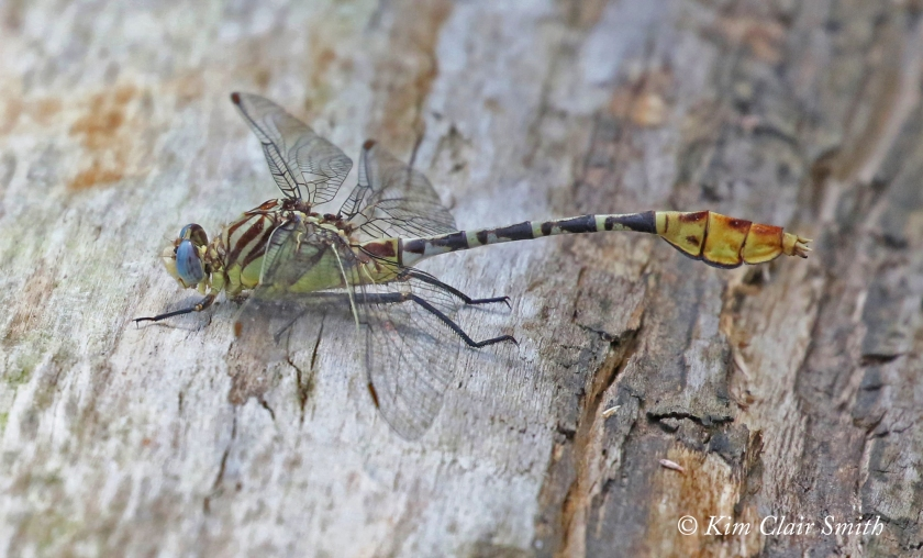 Flag-tailed spinyleg - MBSP (1) w sig