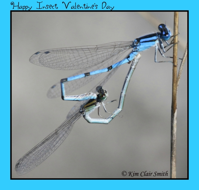 Insect Valentine's Day - heart - damselflies in tandem