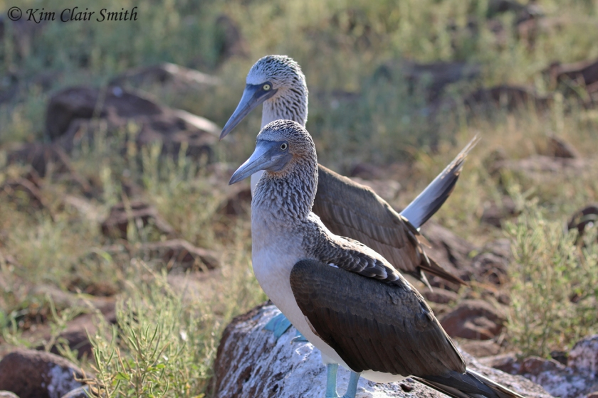 Blue-footed boobies showing pupil size differences in sexes w sig
