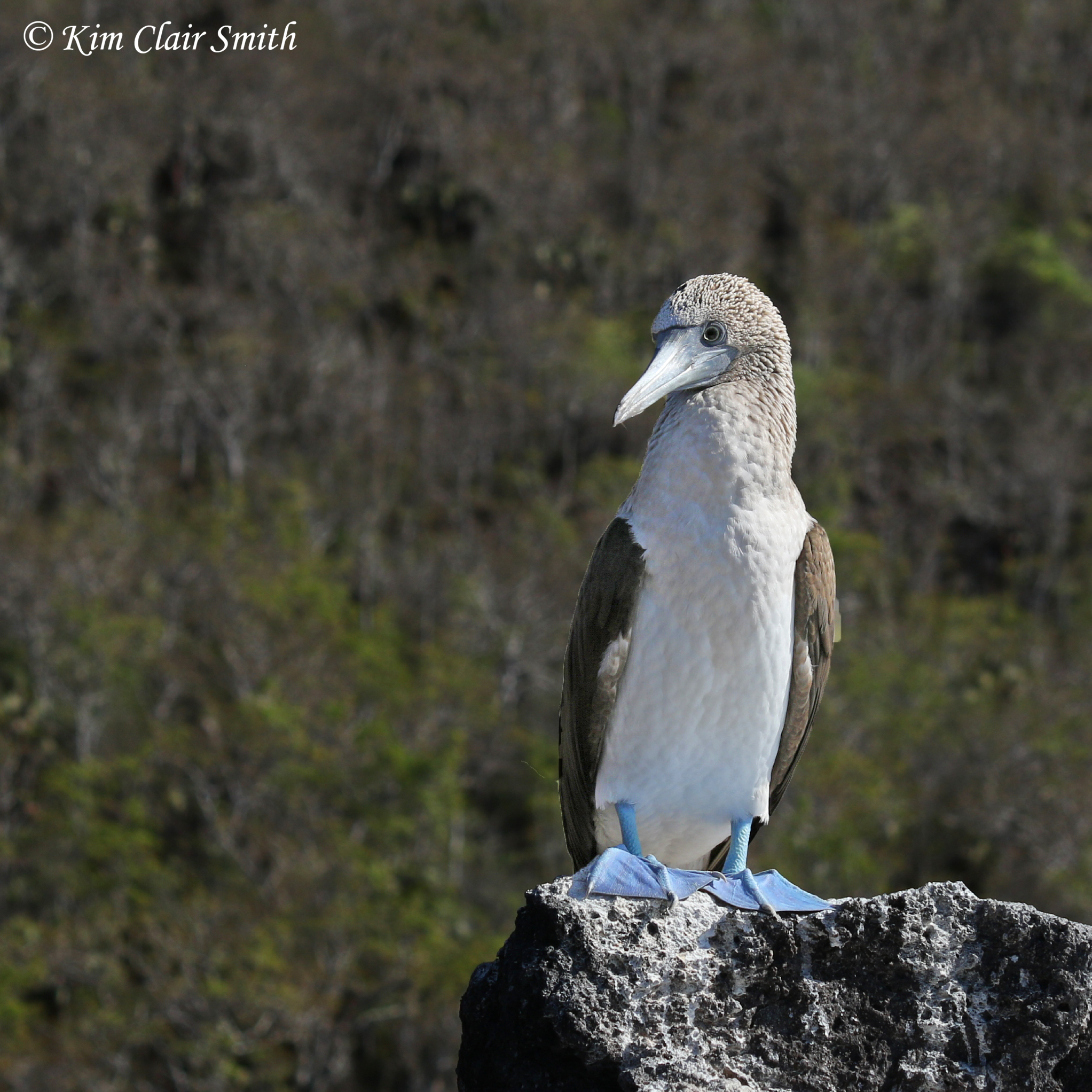 Blue-footed booby edited w sig