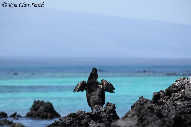 Flightless cormorant reduced file size w sig