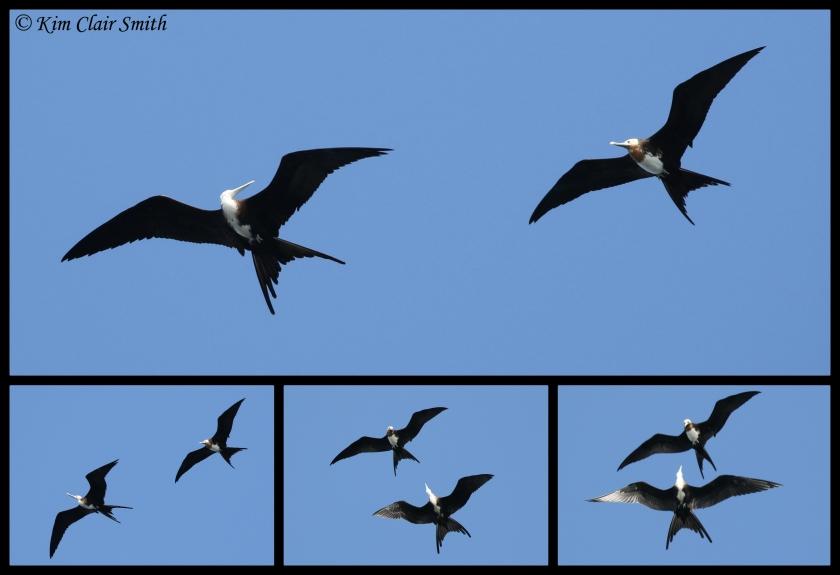 Frigatebirds flying collage w sig