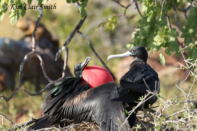 Great frigatebirds on nest w sig - red eye ring