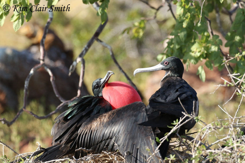 Great frigatebirds on nest w sig - red eye ring