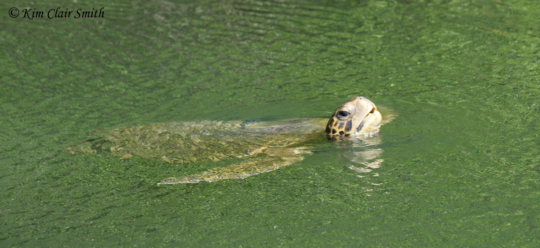 Green sea turtle w sig
