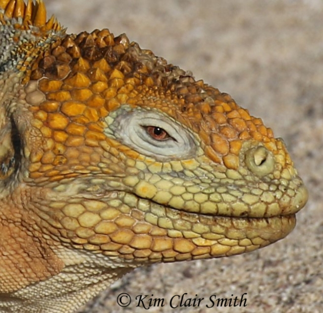 Land iguana head crop w sig