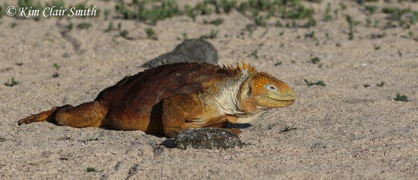 Land iguana on sand edited w sig