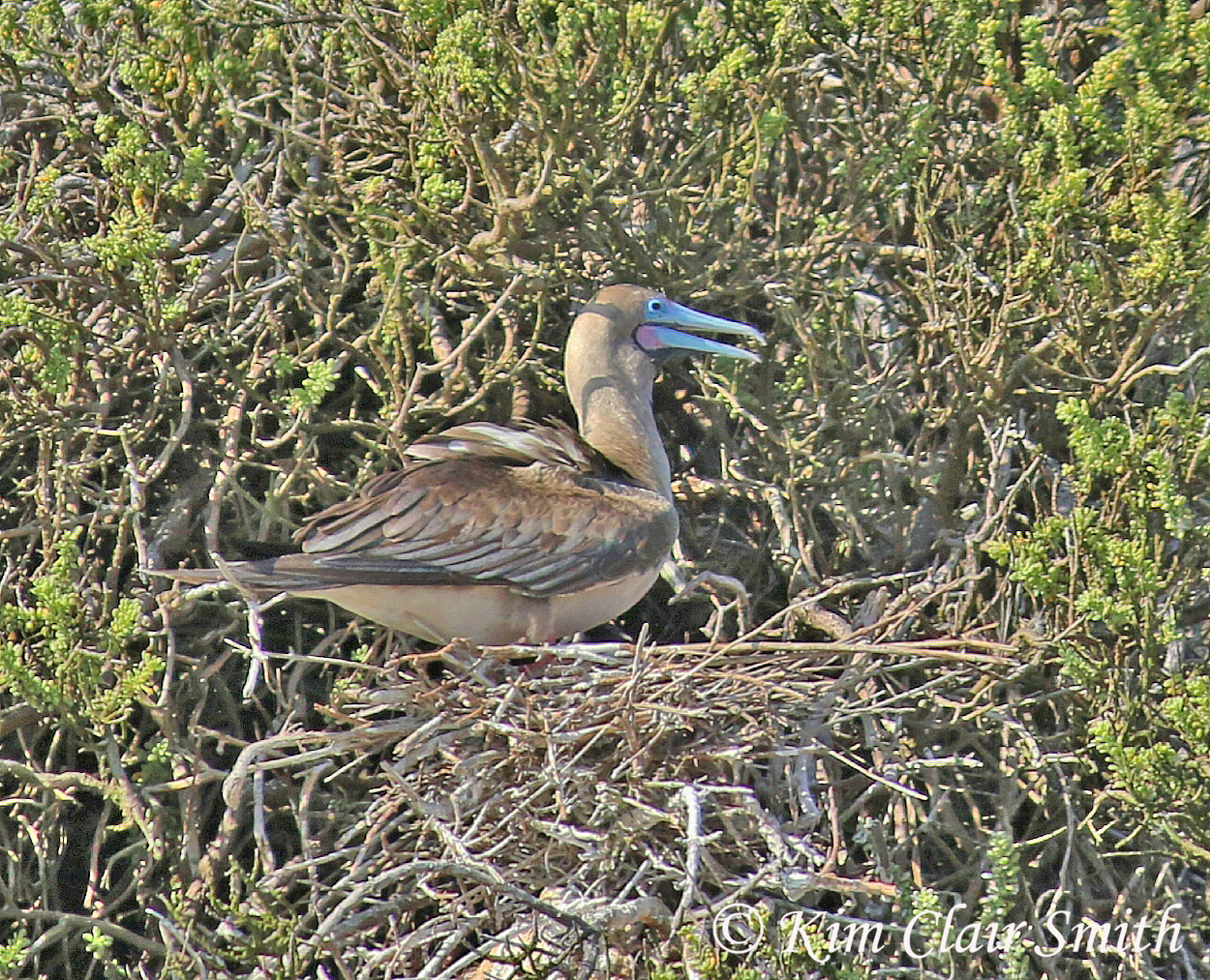 Red-footed booby w sig