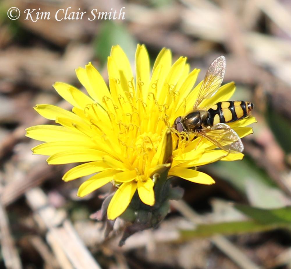 American Hoverfly maybe (Eupeodes americanus) on dandelion w sig