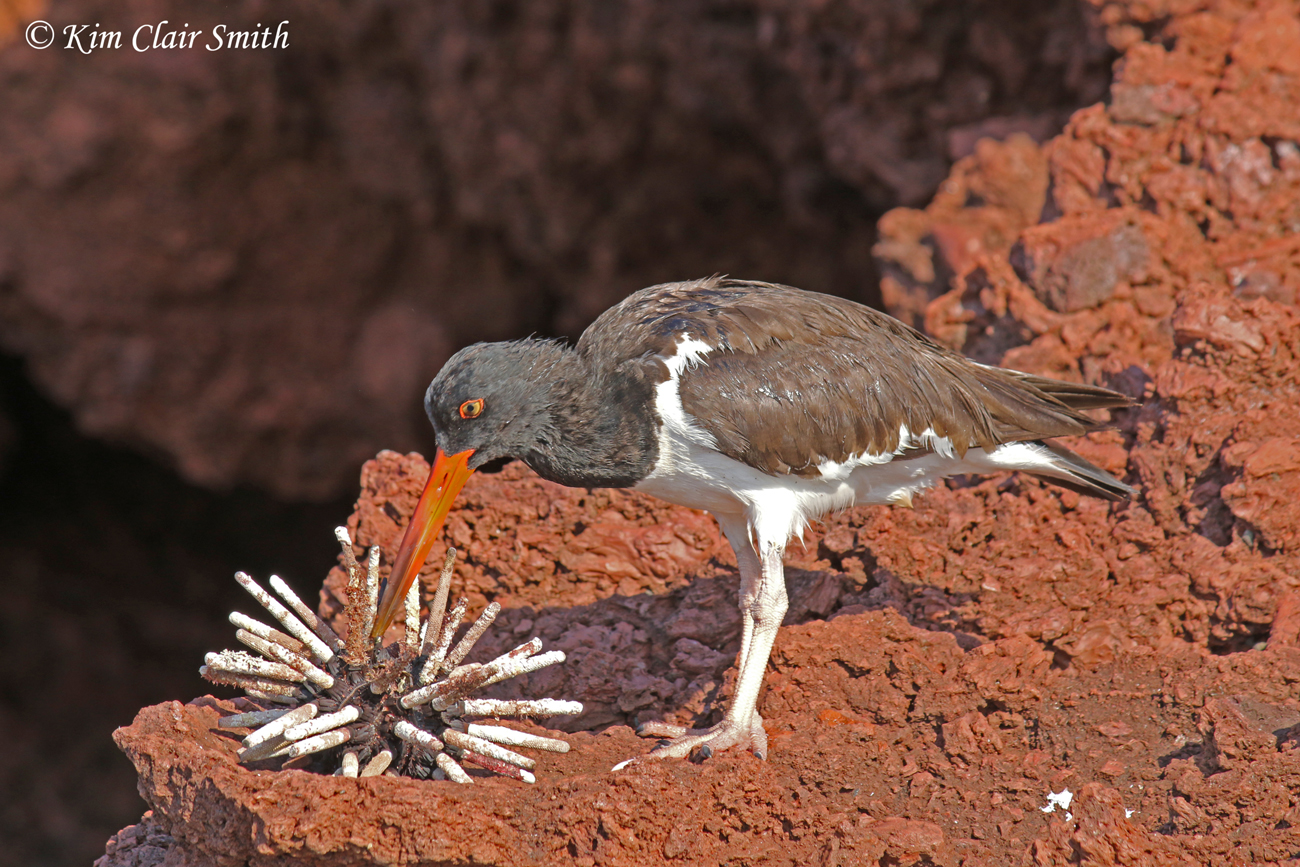 American Oystercatcher with sea urchin for blog