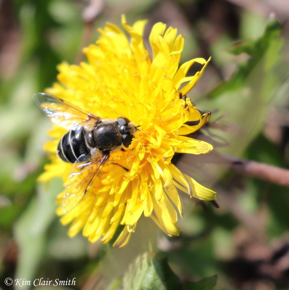 Black-shouldered drone fly on dandelion - blog w sig