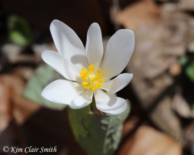 Bloodroot at Goll Woods w sig