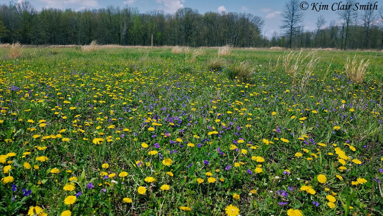 Dandelions and violets at Salamander Flats w sig
