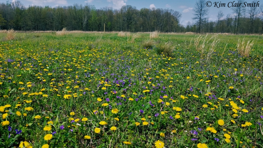 Dandelions and violets at Salamander Flats w sig