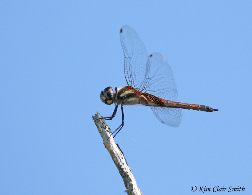 Dragonfly from Galapagos
