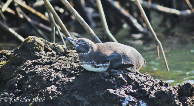 Galapagos penguin lying down w sig
