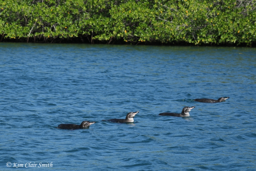 Galapagos penguins swimming in mangrove lagoon w sig