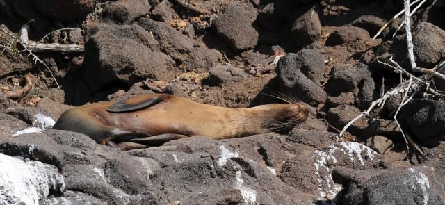 Galapagos sea lion sleeping on rocks