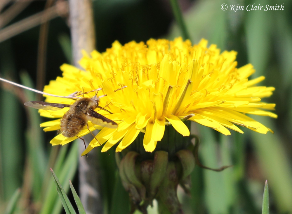 Greater bee fly on dandelion w sig