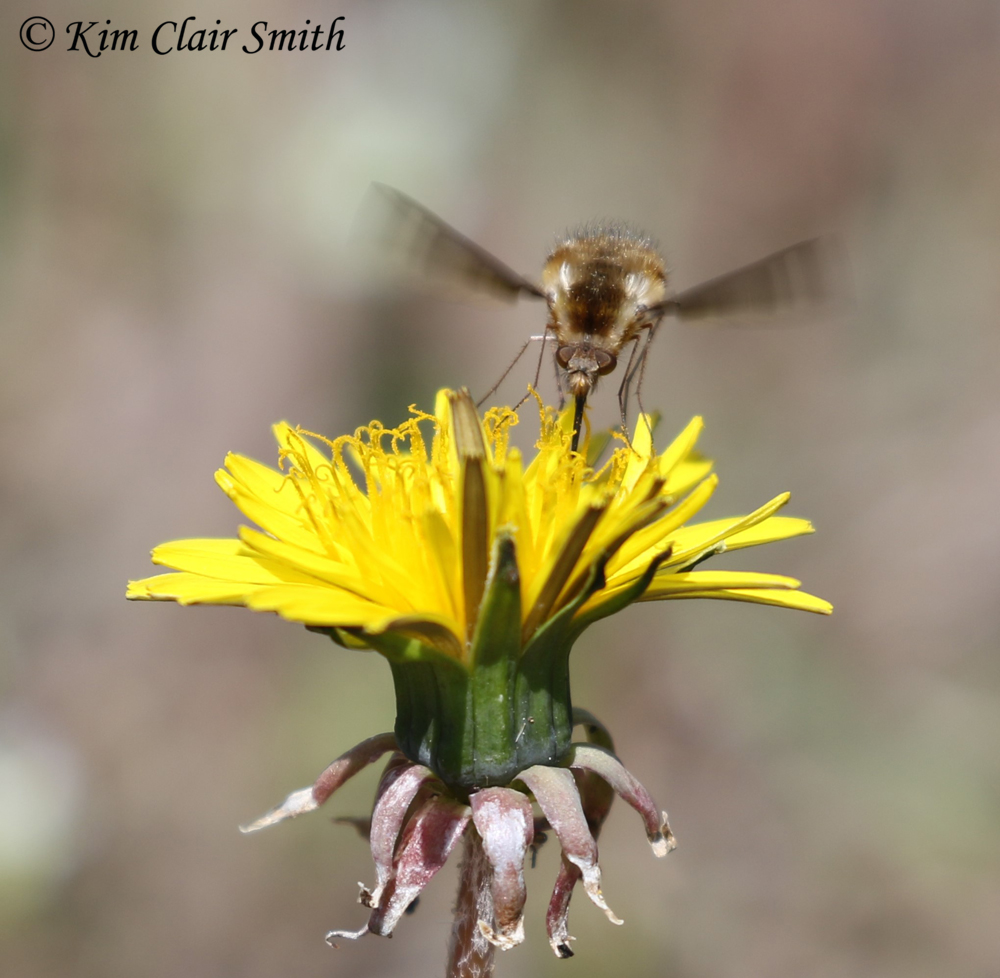 Greater bee fly on dandelion with long proboscis w sig