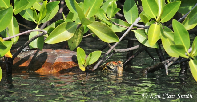 Green sea turtle resting in mangroves w sig