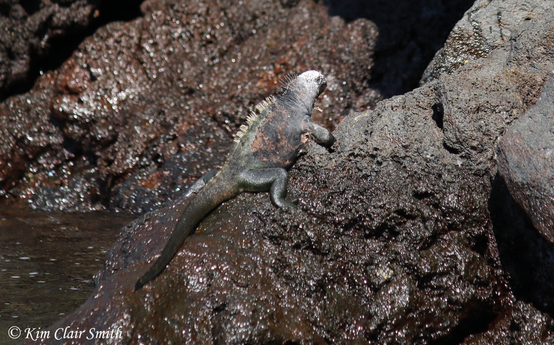 Marine iguana on rocks w sig