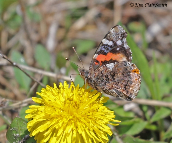 Red Admiral butterfly on dandelion cropped w sig