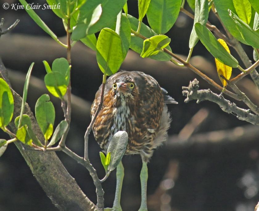 Striated heron in mangroves w sig