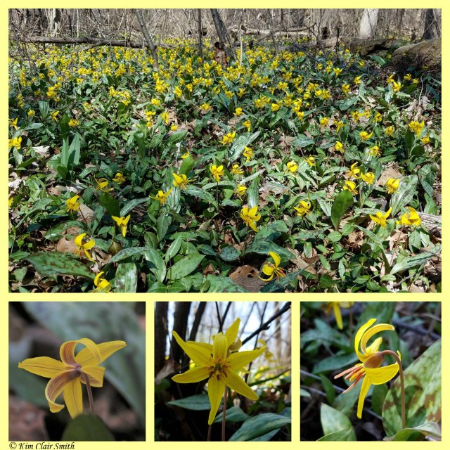 Trout lily collage w sig