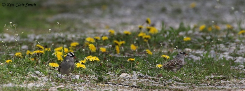 White-crowned Sparrows amongst the dandelions - blog