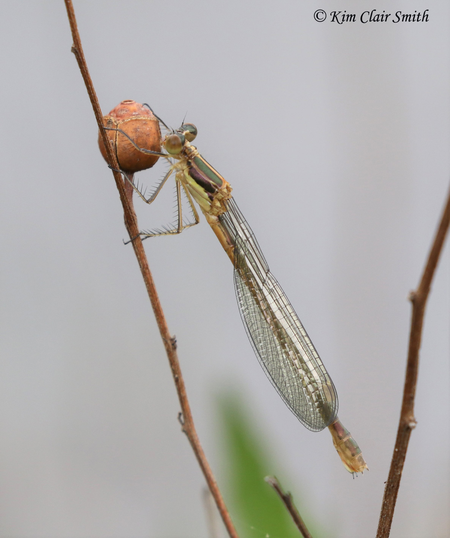 Another emerald spreadwing female - on seedbox native plant w sig