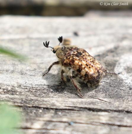 Bumble Flower Beetle - Euphoria inda w sig