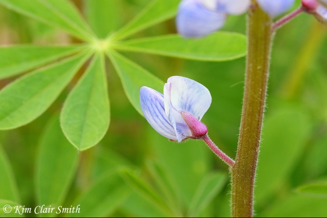 Lupine blooming in my yard - blog (1)