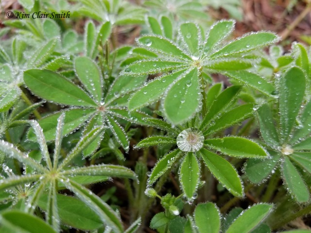 Lupine with rain droplets w sig