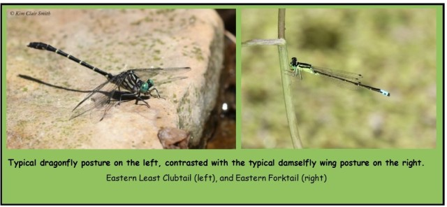 Dragonfly vs damselfly photos - Kim Clair Smith