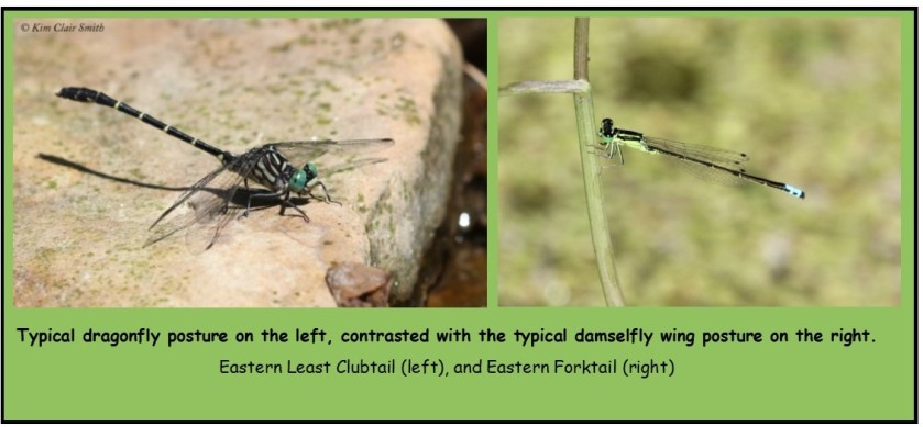 Dragonfly vs damselfly photos - Kim Clair Smith