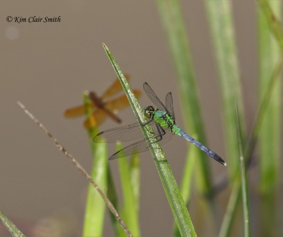 Eastern pondhawk and eastern amberwing in one shot by Kim Clair Smith w sig