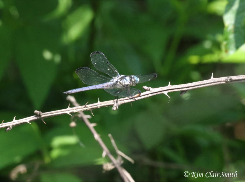 Great blue skimmer by Kim Clair Smith w sig - doc shot