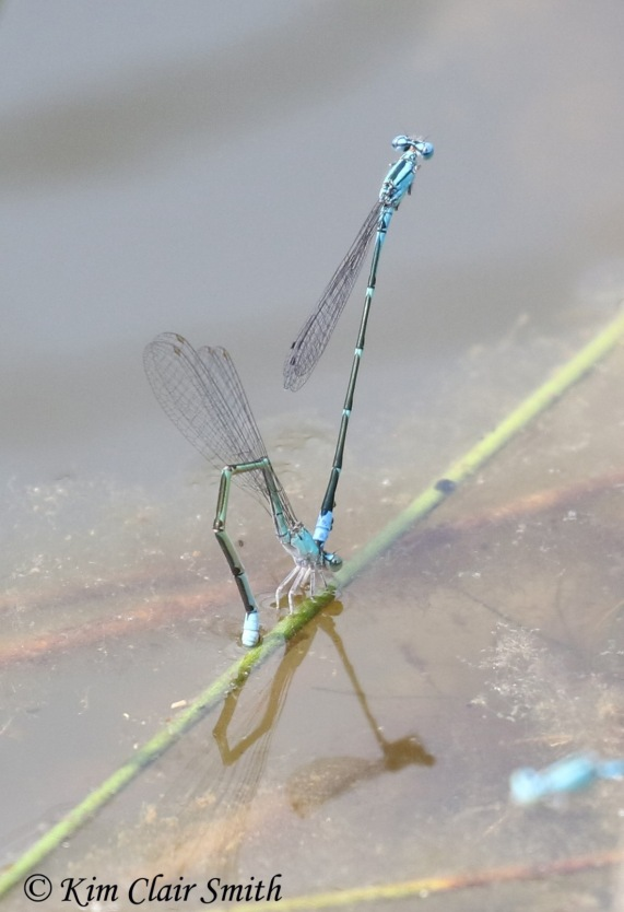 Slender bluets in tandem by Kim Clair Smith w sig