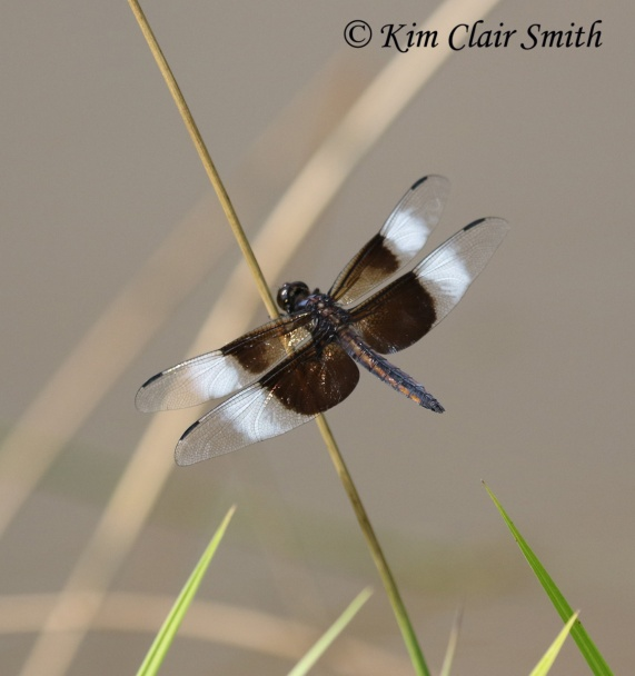 Widow skimmer by Kim Clair Smith w sig