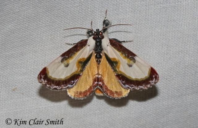 Beautiful Wood-nymph moth - Eudryas grata w sig