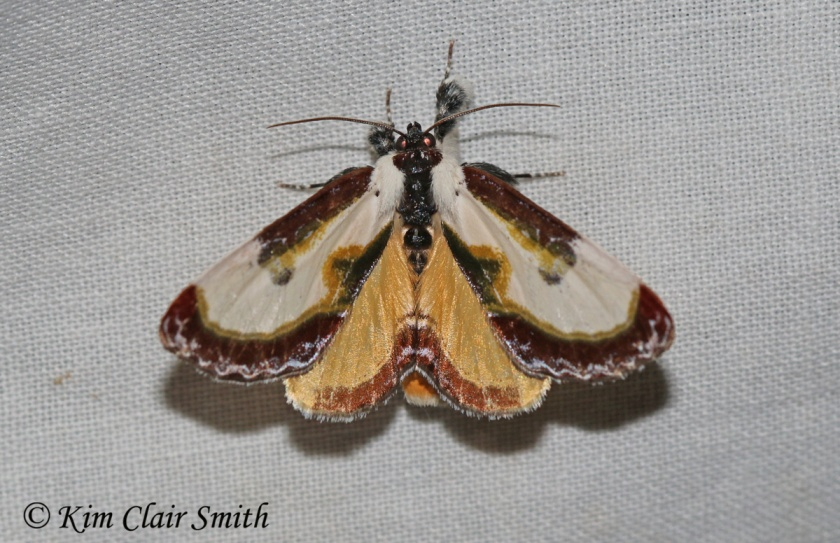 Beautiful Wood-nymph moth - Eudryas grata w sig