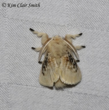 Black-waved Flannel Moth
