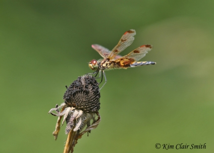 Female calico pennant on spent flower head Kim Clair Smith