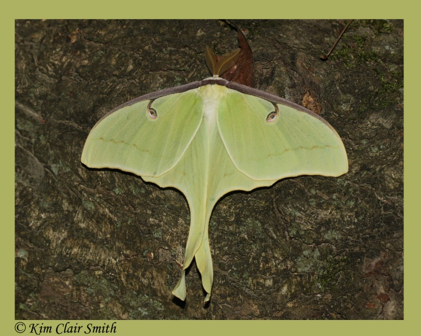 Luna moth with frame and sig