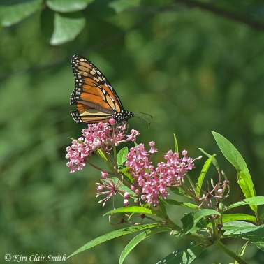 monarch butterfly on swamp milkweed Kim Clair Smith